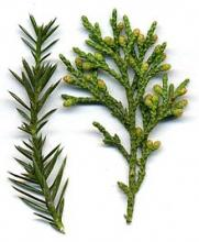 Clan Ross Plant: Juniper