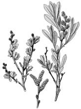Clan Campbell Plant: Bog Myrtle